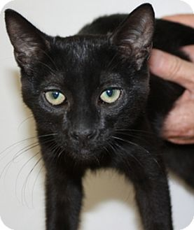 Domestic Shorthair Kitten for adoption in North Highlands, California - Eavon