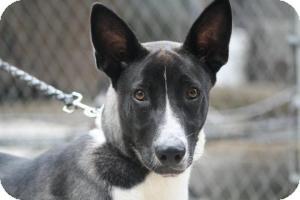 Shepherd (Unknown Type)/Siberian Husky Mix Dog for adoption in Anderson, Indiana - Marshall