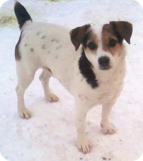 Jack Russell Terrier/Beagle Mix Dog for adoption in Toledo, Ohio - Jack