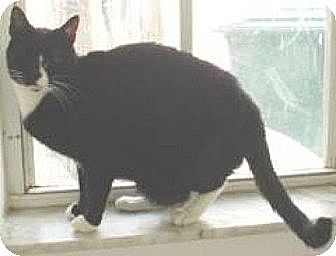 Domestic Shorthair Cat for adoption in Miami, Florida - Knight