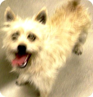 Cairn Terrier Mix Dog for adoption in Cibolo, Texas - Lane