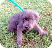 Terrier (Unknown Type, Medium) Mix Puppy for adoption in Columbia, South Carolina - Axel