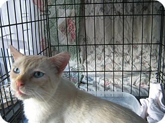 Domestic Shorthair Cat for adoption in Shawnee, Oklahoma - Cowboy