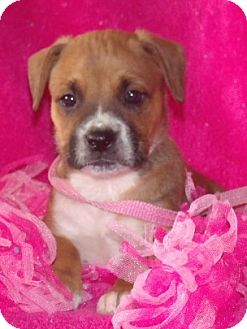 Boxer/Boston Terrier Mix Puppy for adoption in Phillips, Wisconsin - Judy