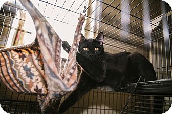 Domestic Shorthair Cat for adoption in Hazel Park, Michigan - Spook, Boo, Trick