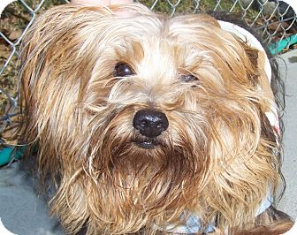 Yorkie, Yorkshire Terrier Mix Dog for adoption in Grants Pass, Oregon - Theodore