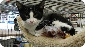 Domestic Shorthair Kitten for adoption in Redondo Beach, California - Kimberly