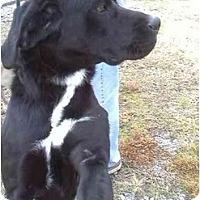 Adopt A Pet :: Blue - Scotland Neck, NC