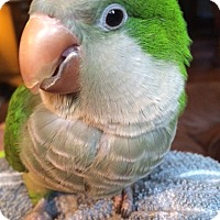 Adopt A Pet :: Vivian - Lenexa, KS