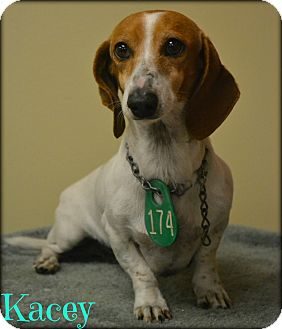 Dachshund Mix Dog for adoption in Beaumont, Texas - Kacey