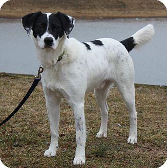 Border Collie Mix Dog for adoption in Staunton, Virginia - Bandito