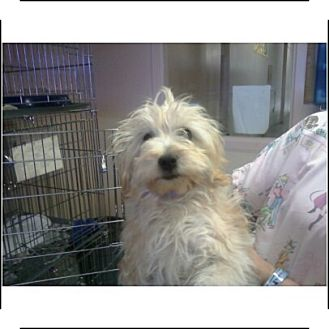 Maltese/Toy Poodle Mix Puppy for adoption in Long Beach, California - Leela