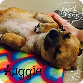 Pug/Chihuahua Mix Dog for adoption in Snyder, Texas - Auggie