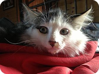 Maine Coon Kitten for adoption in Absecon, New Jersey - Jude