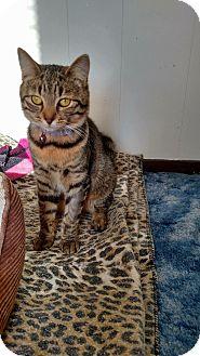 Domestic Shorthair Cat for adoption in Irwin, Pennsylvania - Jenna
