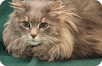 Maine Coon Cat for adoption in Marietta, Ohio - Fluffy (Declawed & Spayed)