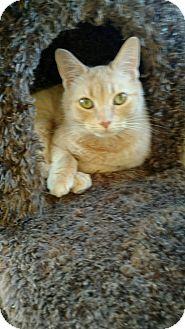 American Shorthair Kitten for adoption in Westland, Michigan - Buttercup