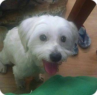 Maltese Mix Dog for adoption in Phoenix, Arizona - Marco