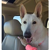 Adopt A Pet :: Oso - Fort Worth, TX