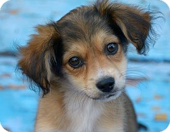 Terrier (Unknown Type, Small)/Spaniel (Unknown Type) Mix Puppy for adoption in LAFAYETTE, Louisiana - DUTCH