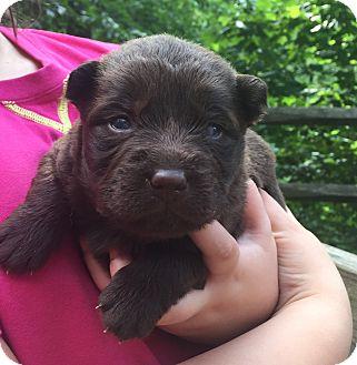 Shepherd (Unknown Type)/Weimaraner Mix Puppy for adoption in Hazard, Kentucky - Hershey