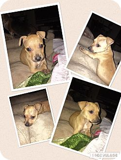 Boxer/Labrador Retriever Mix Puppy for adoption in Baton Rouge, Louisiana - Taters