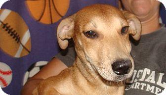 Australian Shepherd/Labrador Retriever Mix Puppy for adoption in Oviedo, Florida - Cappy