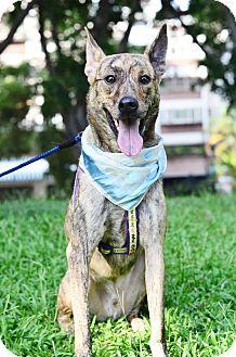 Labrador Retriever/Shepherd (Unknown Type) Mix Dog for adoption in San Mateo, California - Cliff