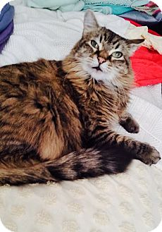Maine Coon Cat for adoption in Kelso/Longview, Washington - Izzy