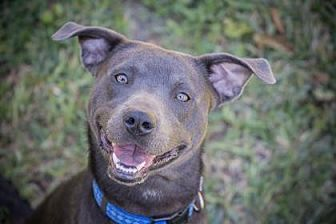 Blue Lacy/Texas Lacy Mix Dog for adoption in Allentown, Pennsylvania - Barkley