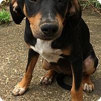 Adopt A Pet :: Janie - Boston, MA