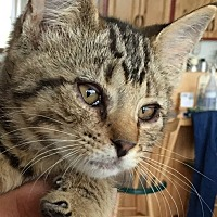 Domestic Shorthair Kitten for adoption in Buhl, Idaho - Titus