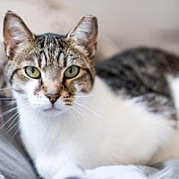 Adopt A Pet :: Buddha - Owings Mills, MD