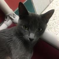 Adopt A Pet :: SAPHIRE - Houston, TX