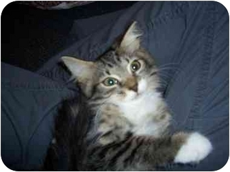 Domestic Longhair Kitten for adoption in Boca Raton, Florida - Ellie Mae