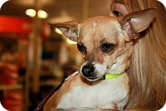 Chihuahua Mix Dog for adoption in Yuba City, California - 09/04 Sugar
