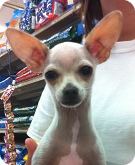 Chihuahua Puppy for adoption in Studio City, California - Abner (4lbs)