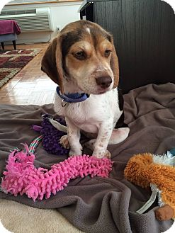 Cocker Spaniel/Beagle Mix Puppy for adoption in Jersey City, New Jersey - Brandon Walsh