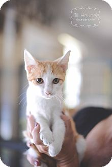 Domestic Shorthair Cat for adoption in Edwardsville, Illinois - Melvin