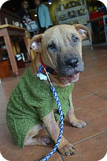 American Staffordshire Terrier/Shar Pei Mix Dog for adoption in Indianapolis, Indiana - Dexter