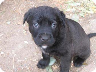 Labrador Retriever/American Staffordshire Terrier Mix Puppy for adoption in Englewood, Colorado - Pig Pen