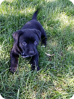Flat-Coated Retriever/Labrador Retriever Mix Puppy for adoption in Orland Park, Illinois - Female Pup 2