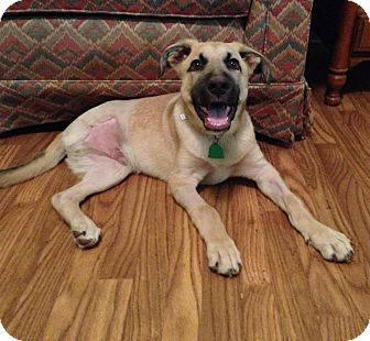 Black Mouth Cur/German Shepherd Dog Mix Puppy for adoption in Natchitoches, Louisiana - Rocky