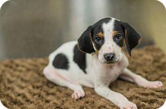 Beagle/Hound (Unknown Type) Mix Puppy for adoption in Manhattan, New York - Gino