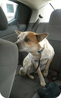 Australian Cattle Dog/Canaan Dog Mix Dog for adoption in Warren, Michigan - Lola