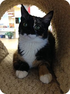 Calico Cat for adoption in Toms River, New Jersey - Lucy
