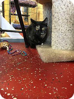Domestic Shorthair Kitten for adoption in Branson, Missouri - Gracie