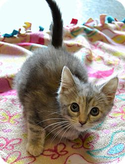 Domestic Shorthair Kitten for adoption in Michigan City, Indiana - Molly