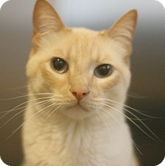 Siamese Cat for adoption in Canoga Park, California - Diamond