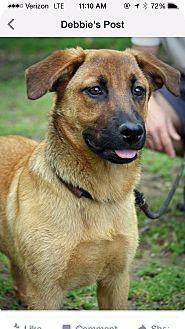 German Shepherd Dog/Labrador Retriever Mix Puppy for adoption in Nashville, Tennessee - JUNIE